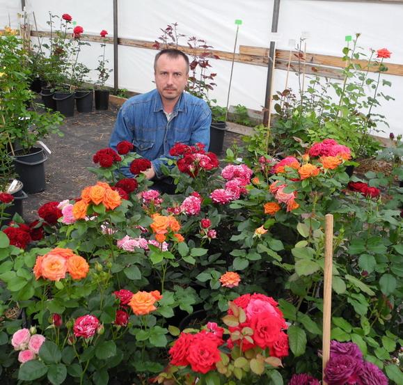 Как сделать саженцы роз