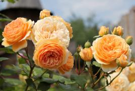 Купить розы дэвида остина