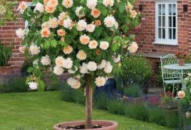 Где купить штамбовые розы в саратове самоцветы александрит купить
