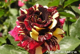Абракадабра розы купить саженцы в москве экзотические цветы для сада купить